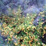 A happy monkeyflower (Diplacus monkeyflowers grow in drier areas, Mimulus in moist)