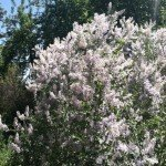 The plentiful Chaparral Whitethorn (ceanothus leucodermis) was full of native bees and wasps
