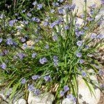 Our blue-eyed grass has really taken off