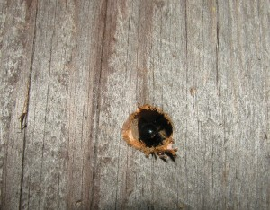 Carpenter bee laying eggs