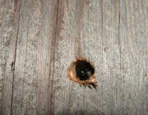 Carpenter bee laying eggs
