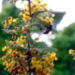 Our nevin's barberry (Mahonia nevnii), attracts many carpenter and bumblebees, mostly at dusk I've noticed.