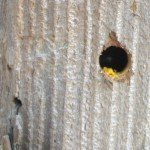 A carpenter bee in our fence post with I'm assuming yellow pollen for  its egg laying process?