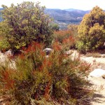 This September scene in Idyllwild CA features blooming chamise, with manzanita and red shank (Adenostoma sparsifolium) on right