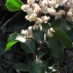 Sugar Bush (Rhus ovata) blooms into the summer with some irrigation