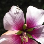 Ichnuemonid parastioid wasp on one of our mallow flowers