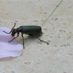 Another cool bug...blister beetle. When disturbed, it secretes a chemical, cantharadin, and it leaves a blister