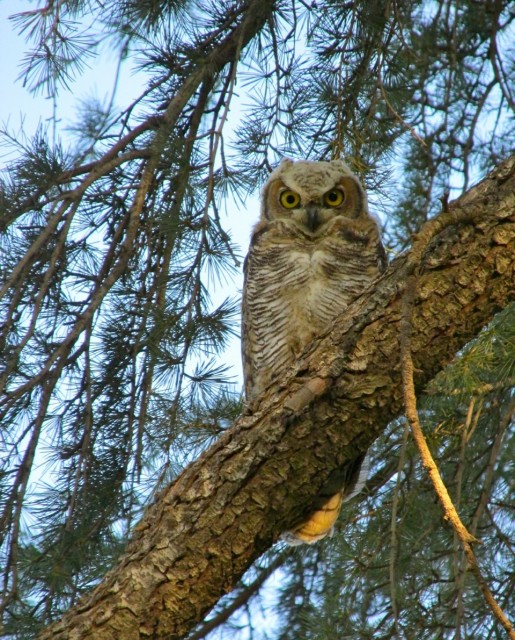This baby owl recently fledged near our home and should help take care of our rodents.