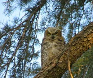 IMG_1449  Great Horned Owl