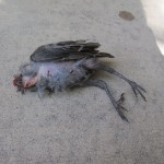 A baby jay killed by a cat