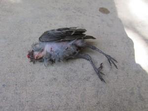 IMG_1461 Baby jay cat kill