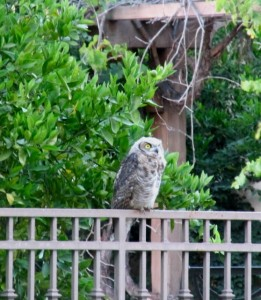 I worry about this great horned owl fledgling near our home when many neighbors have bait boxes