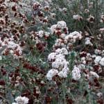 Buckwheat in January