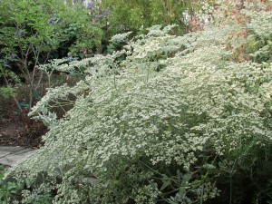 St. Catherine's Lace (Erigonium Giganteum) provides beautiful white flowers that turn rust in late summer