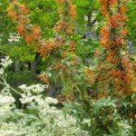 St. Catherine's Lace (Erigonium Giganteum) with Nevin's Barberry in June