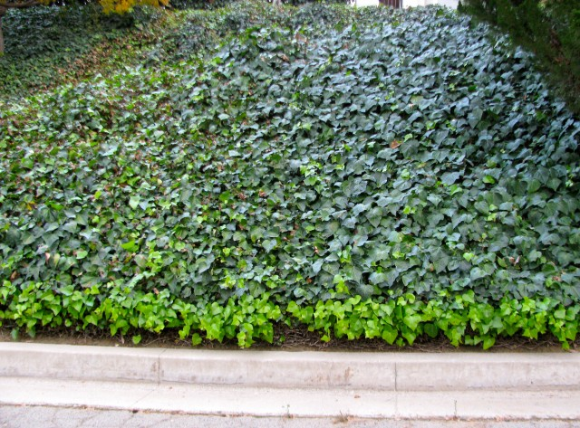 Invasive English Ivy
