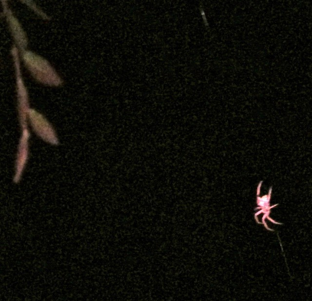 This orb spider was a bright pink color