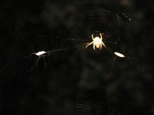 "Another ""Charlotte"" orb weaver spider with two of grain moths we fed her."