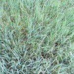 Blue grama and buffalo grass make a nice combo
