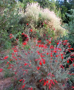 Summer color at Redlands Caroline Park with California fuchsias, with Fairy Duster  and Apache plume in the background
