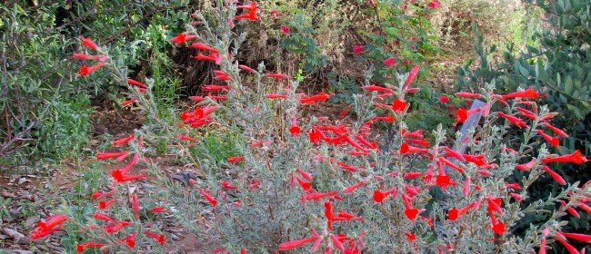 California Native Plants with Summer Color