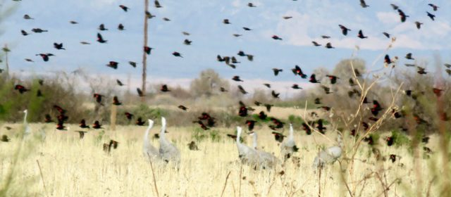 Salton Sea Tour highlights… burrowing owls, sandhill cranes, shorebirds aplenty