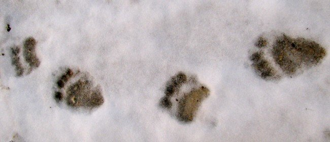 Animal Tracks: Bear, Coyotes and…. a robin