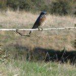 IMG_2861 Bluebird (Linda Richards)