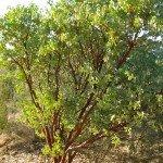 The bark and leave contrast of manzanitasBig Berry Manzanita make great summer color