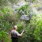 Admiring a mature ceanothus on the trail