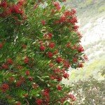 Toyon - one of our favorite native plants