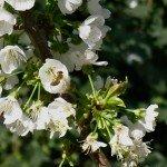 Bee on cherry bloom