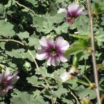 Bush Mallow - another long-bloomer & bee favorite