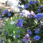 European honeybee on our Dark Star Ceanothus