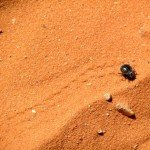 Beetle in Valley of Fire