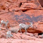 Bighorn sheep mom and two kids in Nevada's Valley of Fire (Atlatl Rock area)