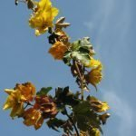 Dark mallow-shaped leaves and bright flowers of flannel bush or fremontia -