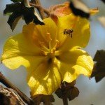 The blooms in spring bring honeybees and native bees and wasps