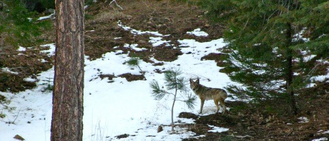Living in Coyote Country (and a campaign to stop a hunt)