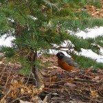 The robin I 'tracked'