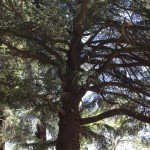 Their new tree trail includes this old Atlas Cedar (Cedrus antlantica) an endangered tree from No Africa