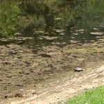 Turtle on edge of the upper pond (Duck Pond), which is a little low on water this spring
