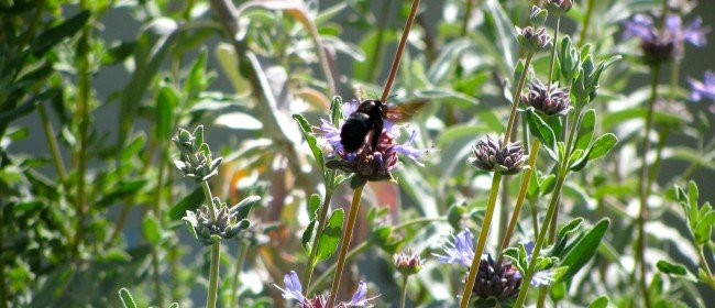 Did you know: 1600 bee species in California?