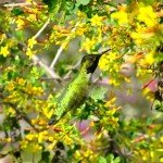 Anna's Hummingbird visited our Golden Currant (Ribes aureum) a lot last month (January)