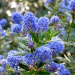 Ceanothus (wild lilac) is starting to bloom in Southern CA