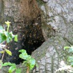 Close-up of tree trunk bees