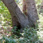 Bee hive in tree trunk