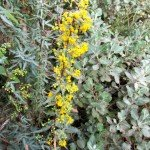 Nevin's barberry, a favorite native plant, that our area used to have a lot of before development