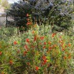 Monkeyflower with dark star ceanothus behind in our front yard