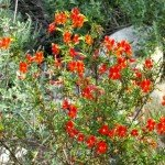Monkeyflower blooming in February, a favorite of hummingbirds